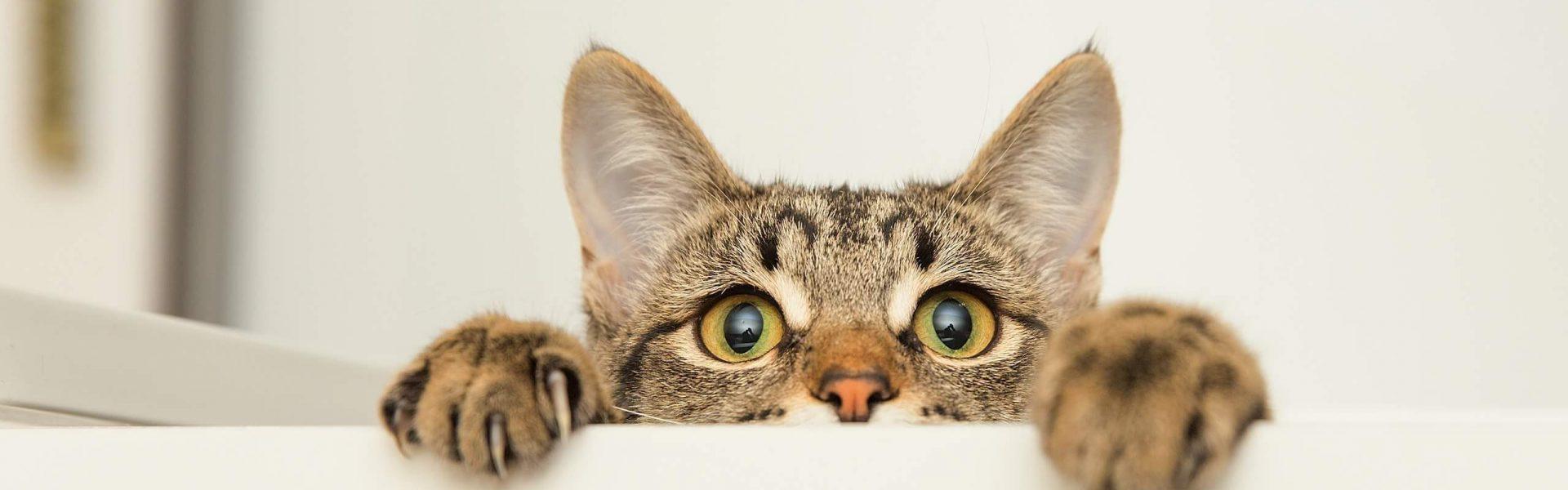 7 Elements A Prendre En Compte Avant D Adopter Un Chat Cat S Best
